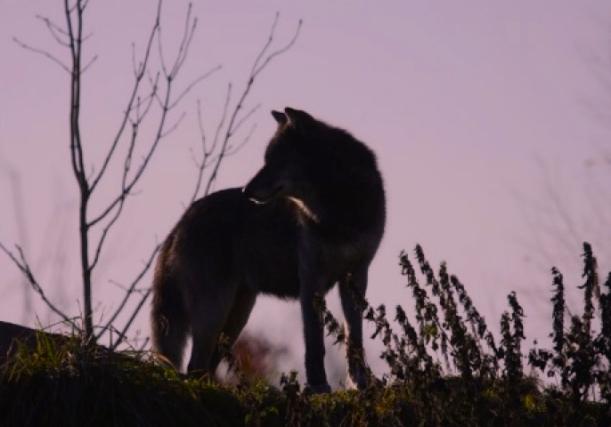 wolf_onRidge