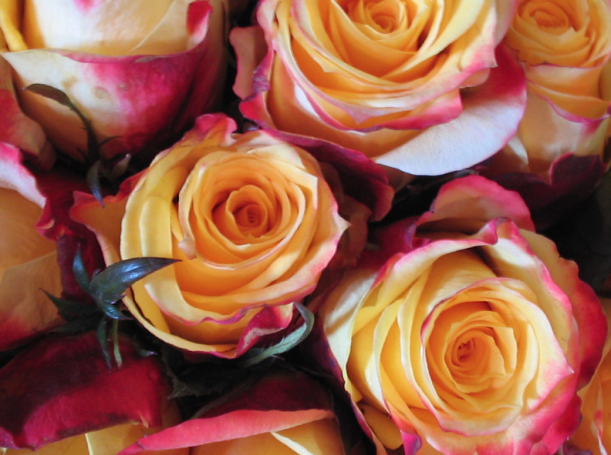 Pink_Yellow Roses