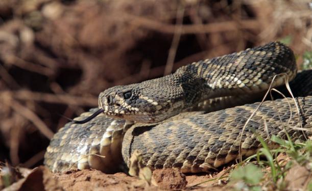 CU rattlesnake