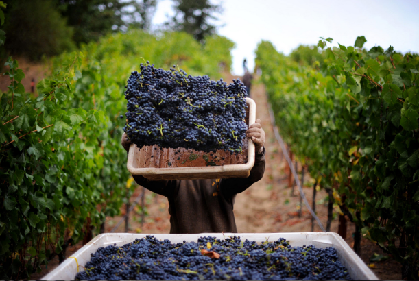 vineyard - grape harvest